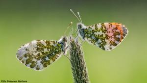 Vlinders uit onze streek
