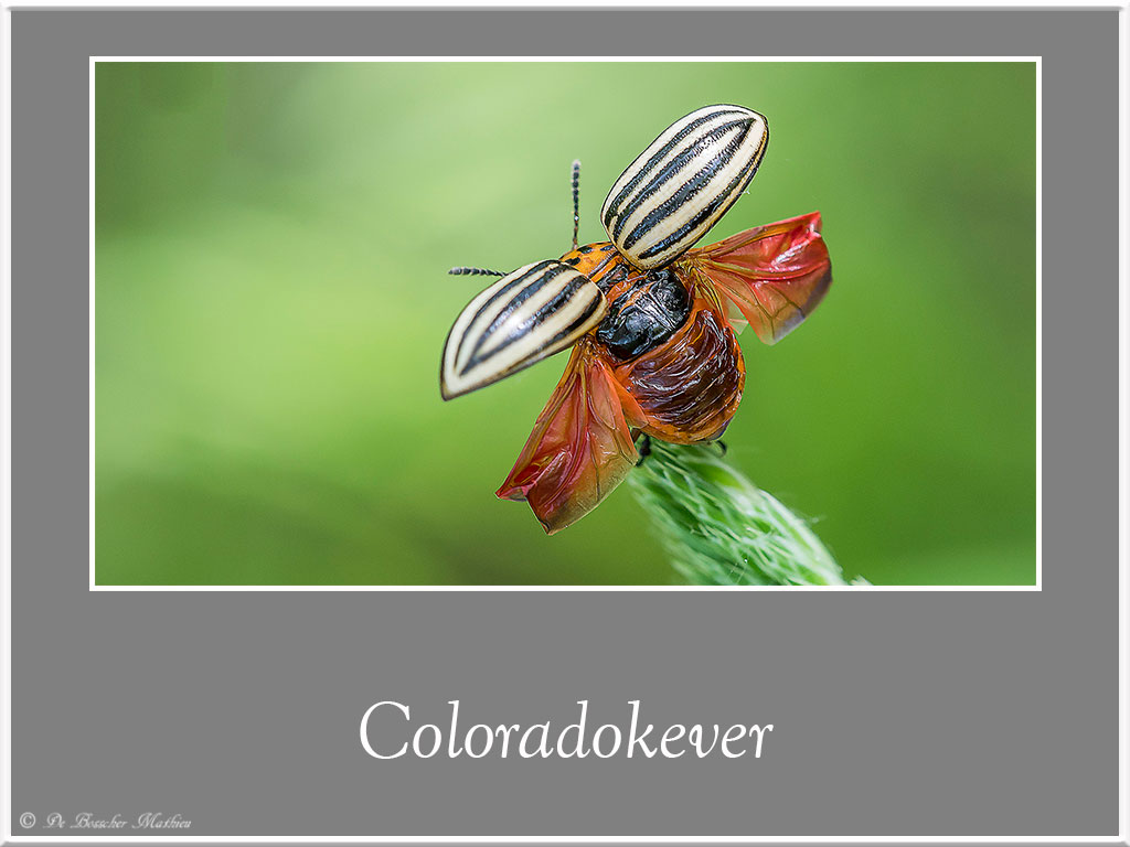 Coloradokever