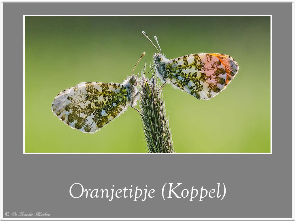 Oranjetipje-1