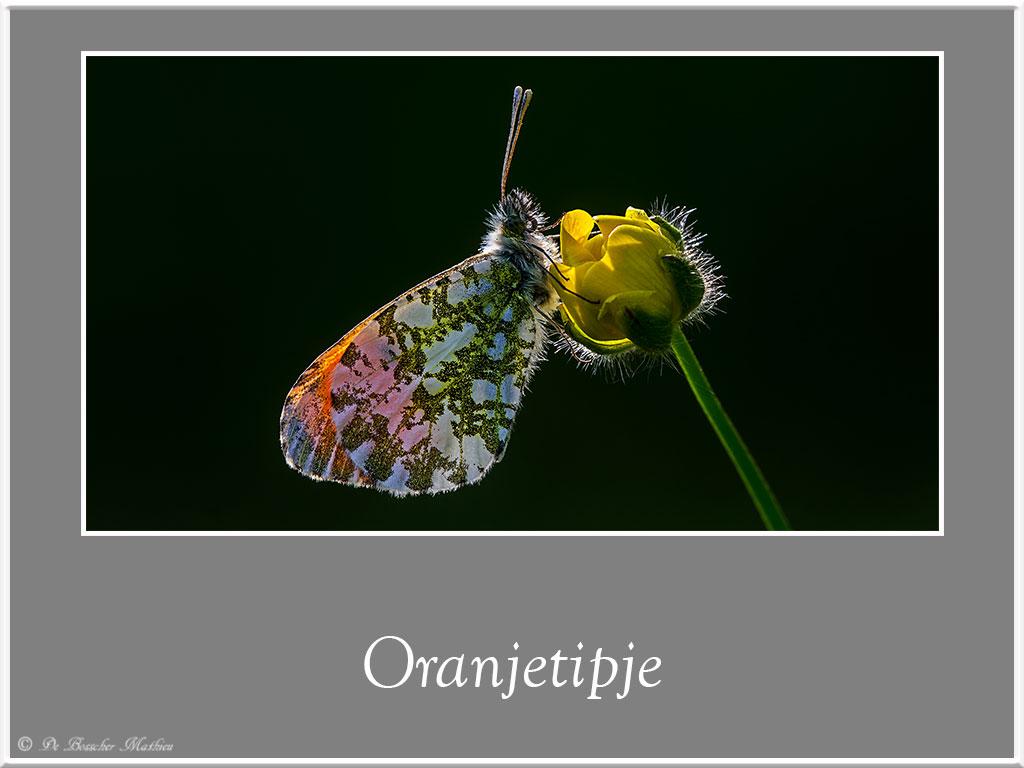 Oranjetipje-2