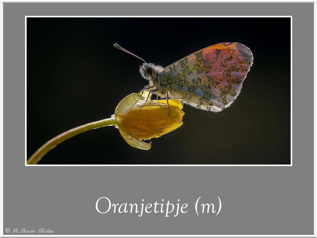 Oranjetipje-3