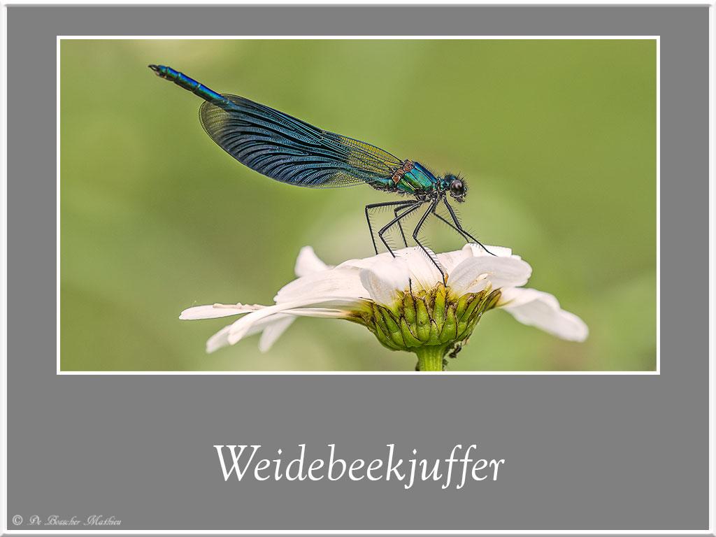 Weidebeekjuffer