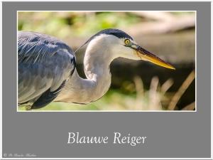Blauwe-reiger-1