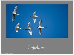 Lepelaar-1