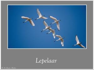 Lepelaar-2