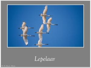 Lepelaar-3