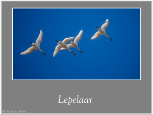 Lepelaar-4