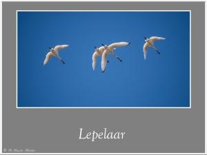 Lepelaar-5