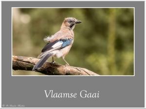 Vlaamsegaai-1
