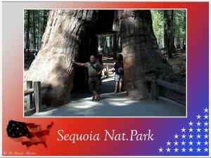 (11)-Sequoia