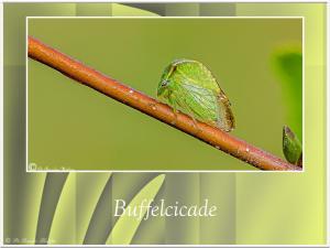 Buffelcicade-1