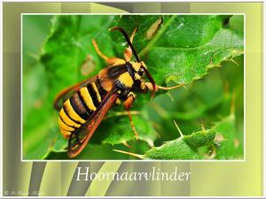 Hoornaarvlinder-1