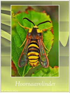 Hoornaarvlinder-2