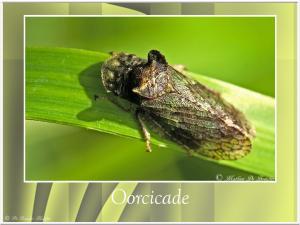 Oorcicade-1