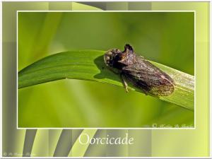Oorcicade-2