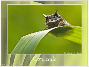 Oorcicade-3