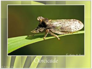 Oorcicade-4