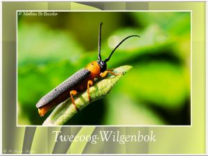 Tweeoogwilgenbok-4