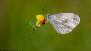 Vlinder-3632